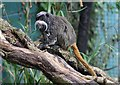SH8378 : An Emperor Tamarin at the Welsh Mountain Zoo by Richard Hoare