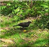 TQ1711 : Blackbird, Cuthman's Field, Steyning by Simon Carey