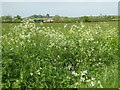 SO8842 : Cow parsley on Dunstall Common by Philip Halling