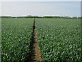 TL2561 : Path through wheat by Hugh Venables