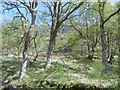 NN1236 : Glen Kinglass oak woods by Richard Webb