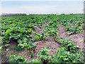 TQ7476 : Rhubarb Field by Des Blenkinsopp