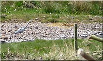 NT9207 : Heron beside the River Alwin by Russel Wills