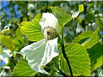 TQ1352 : Flower of handkerchief tree, Polesden Lacey, Great Bookham, near Dorking by Brian Robert Marshall