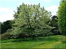 TQ1352 : The handkerchief tree, Polesden Lacey, Great Bookham, near Dorking by Brian Robert Marshall