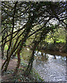 SP3779 : Blackthorn thicket by the River Sowe near Westmorland Road, Coventry by Robin Stott