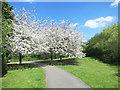 TQ4281 : Cherry Trees by the Capital Ring by Des Blenkinsopp