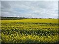 NT9550 : Oilseed rape crop near Mount Pleasant Farm by JThomas