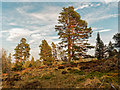 NH5841 : Scots Pine by valenta
