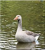 J4774 : Greylag geese, Kiltonga, Newtownards - May 2016(3) by Albert Bridge