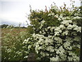 TQ6248 : Hawthorn bush by Three Elm Lane by David Howard