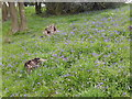 NZ0858 : Bluebells next to footpath between Hedley on the Hill and Woodhead by Clive Nicholson