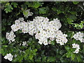 H5258 : Hawthorn blossoms, Cormore by Kenneth  Allen