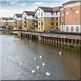 TL1998 : Swans on the River Nene by David P Howard