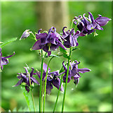TM3698 : Purple columbine flowers by Evelyn Simak