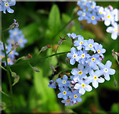 TM3698 : Forget-me-nots (Myosotis spec) by Evelyn Simak