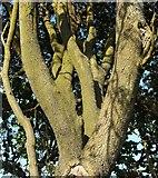 SX9065 : Holm oak, Chapel Hill Pleasure Grounds by Derek Harper