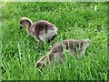 TQ2676 : Goslings, Battersea by Derek Harper
