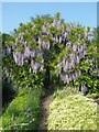 TQ5509 : Wisteria in the kitchen garden at Michelham Priory by Rob Farrow
