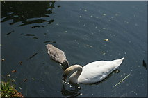 TQ3783 : View of a swan and cygnet on the River Lea by Robert Lamb