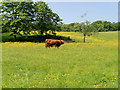 SD8304 : Highland Bull at Heaton Park by David Dixon