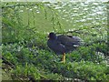 ST2885 : Moorhen, Tredegar House Country Park, Newport by Robin Drayton
