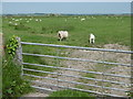 TQ6506 : Sheep on Pevensey Levels by Marathon