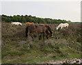 SU3806 : Ponies on Dibden Bottom by Hugh Venables