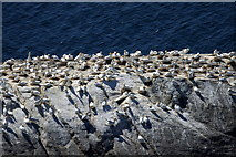 HP5917 : Gannets on Urda Stack, Hermaness by Mike Pennington