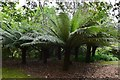 SW9147 : Trewithen House and Garden: Tree ferns by Michael Garlick