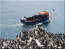 NU2135 : Inner Farne: Guillemots Galore by James T M Towill