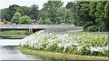 J3371 : Wildflowers, River Lagan, Belfast - June 2016(1) by Albert Bridge