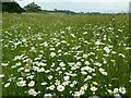 SO8844 : Daisies in Croome Park by Philip Halling