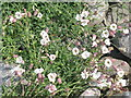 NF6870 : Sea Campion in North Uist by M J Richardson