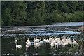 NZ2851 : A Bevy of Swans on the Wear by Mick Garratt