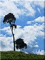 TF1491 : Tree near Bedlam Plantation by Andy Stephenson