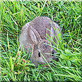 TL1798 : Baby rabbit by David P Howard