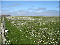 HP6000 : Field of daisies at Uyea Break by David Purchase