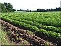 SO8645 : A potato crop by Philip Halling
