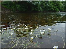 NS3980 : Water-crowfoot in the River Leven by Lairich Rig