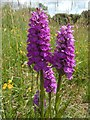 NS3678 : Northern Marsh-orchid by Lairich Rig