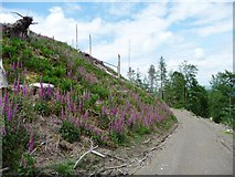 NY2030 : Foxgloves in a felled area, Wythop Woods by Christine Johnstone