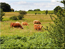 SD7909 : Cattle in the Field off Hinds Lane by David Dixon