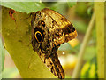 SJ4170 : Giant Owl Butterfly by David Dixon
