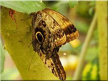 SJ4170 : Giant Owl Butterfly by David Dixon
