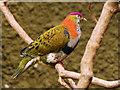 SJ4170 : Superb Fruit Dove (Ptilinopus superbus) by David Dixon