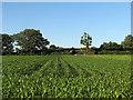 SK5043 : A maize field at Windmill Farm by John Sutton