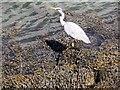 NO4529 : Grey Heron (Ardea cinerea) in Tayport Harbour by Stanley Howe