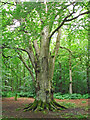 NY5561 : Ancient beech tree, Miltonrigg Woods by Rose and Trev Clough