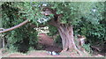 ST5657 : Gnarled willow tree beside a small stream by Dr Duncan Pepper